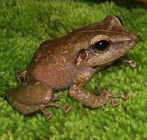 Coqui Frog Eleutherodactylus sp